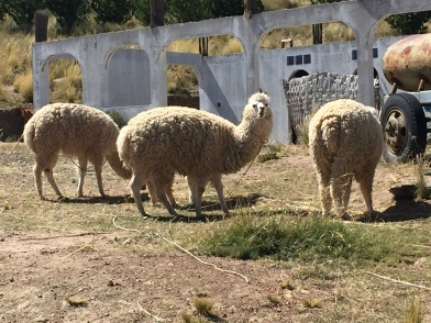 The llamas I thought wanted to kill me (Spoiler: they didn't).